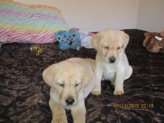 Puppies Yellow AKC Labrador